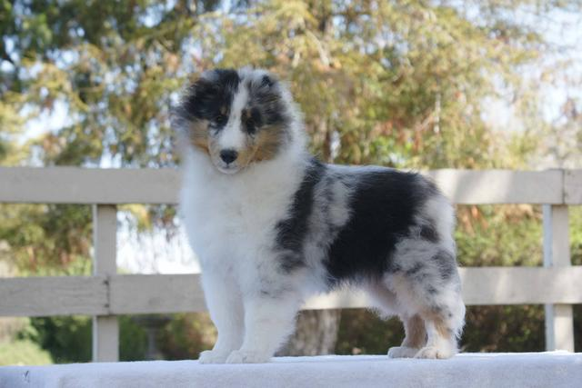 roseglen shelties